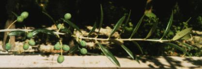 Brote olivo 1
